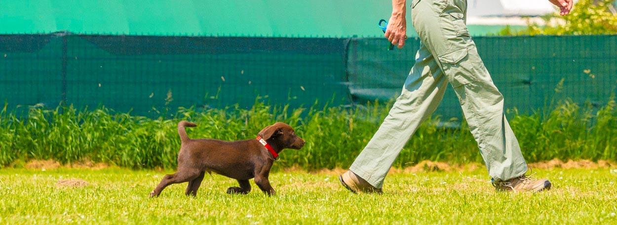 Welpentraining, Junghundetraining, Dummytraining, Therapiehundetraining, Landesgruppe, Retriever, Labrador, Training, Burgenland, ÖRC